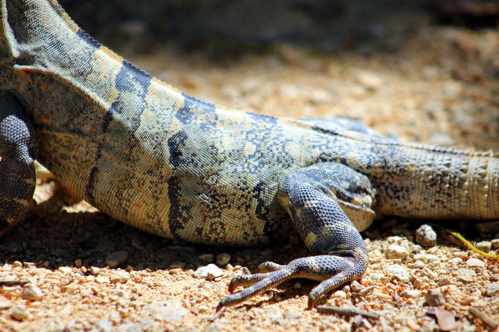 29 - Chichén Itzá - Iguane