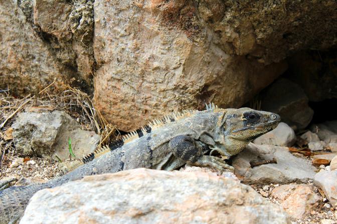 15 - Uxmal - Iguane