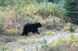 Ours noir (Black bear)