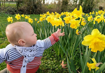 A young child reaching for a daffodil