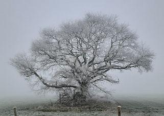 A old oak tree in winter