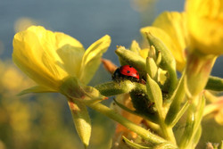 ladybug_edited