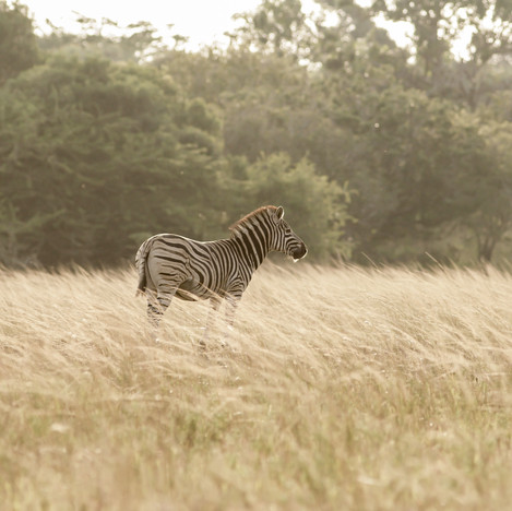 A Zebra in Zululand South Africa