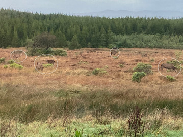 Red deer in front of the Lodge