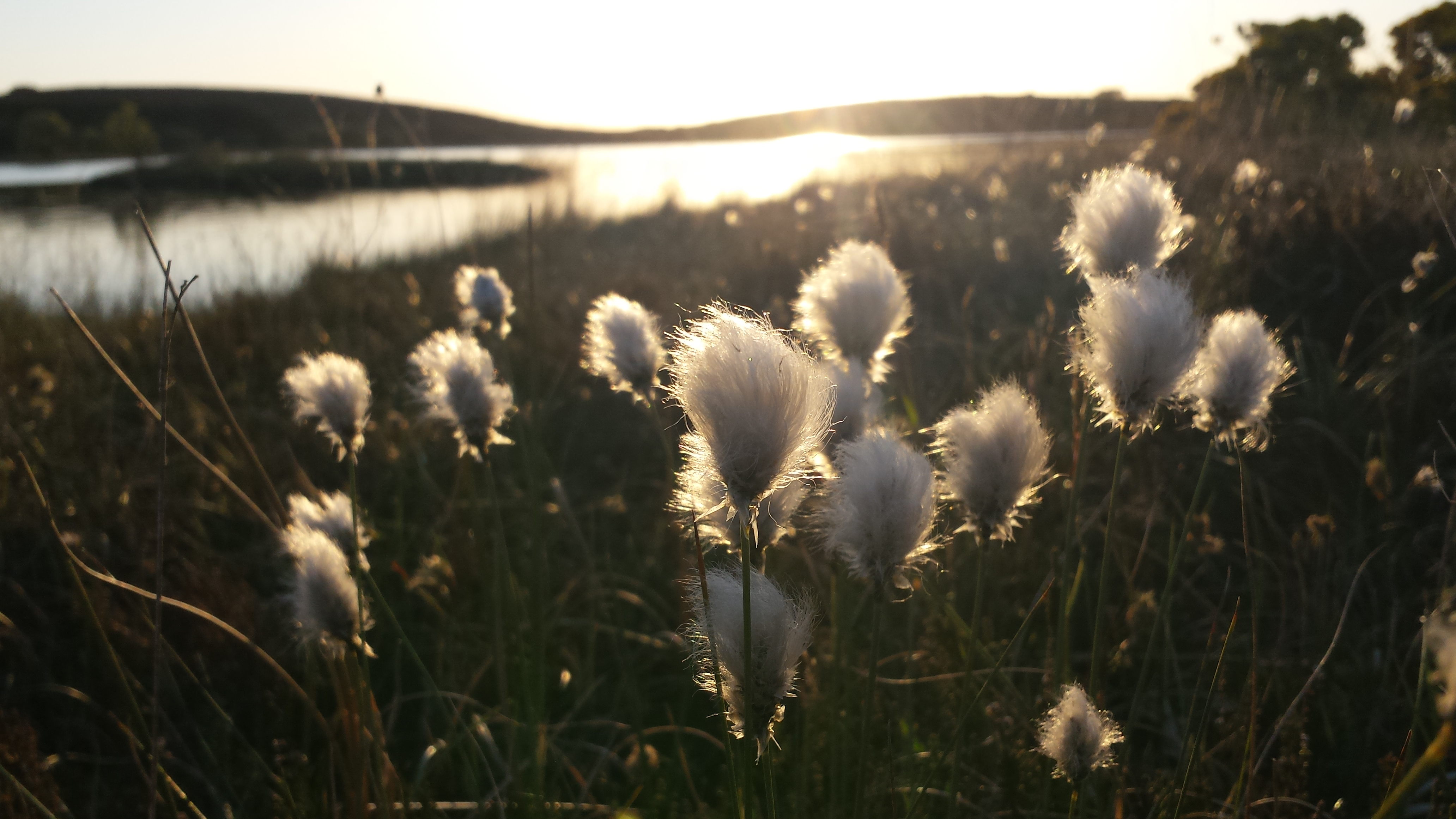 Bog Cotton, Eco, Ireland