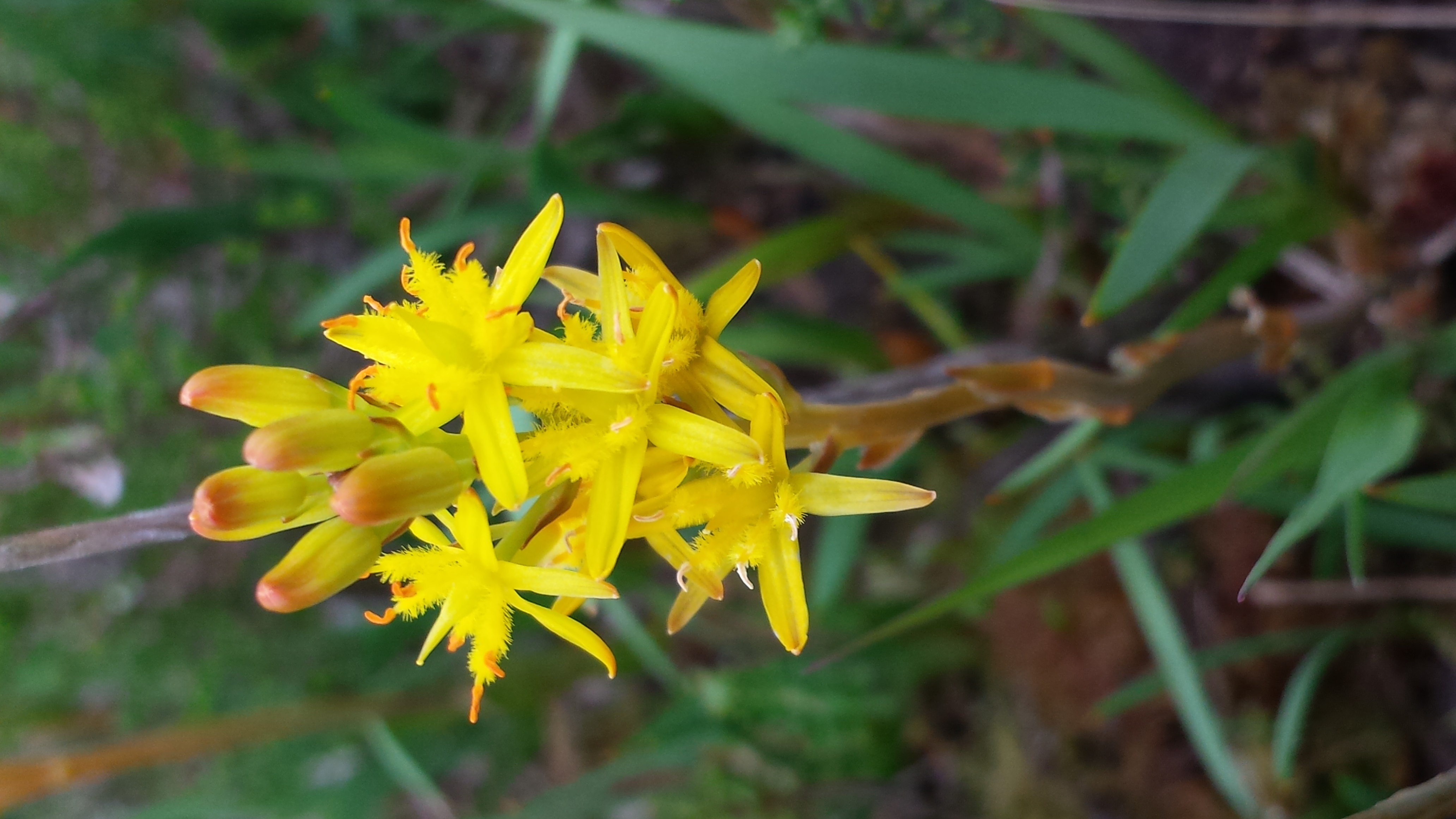 Bog Asphodel, Wildflower, Nature