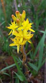 Bog Asphodel, Wildflower, Nature