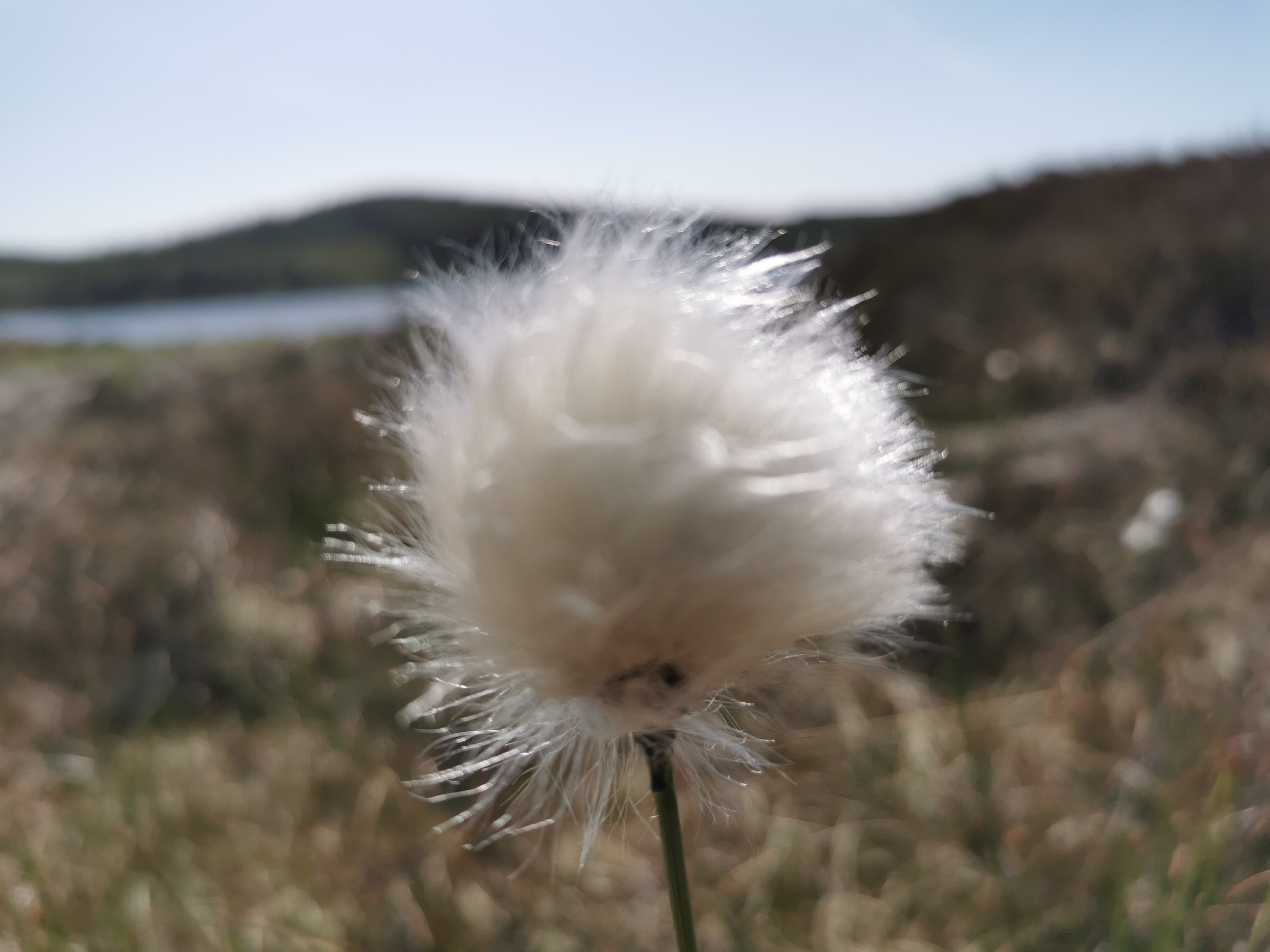 Bog Cotton, Blanket Bogland, Ireland