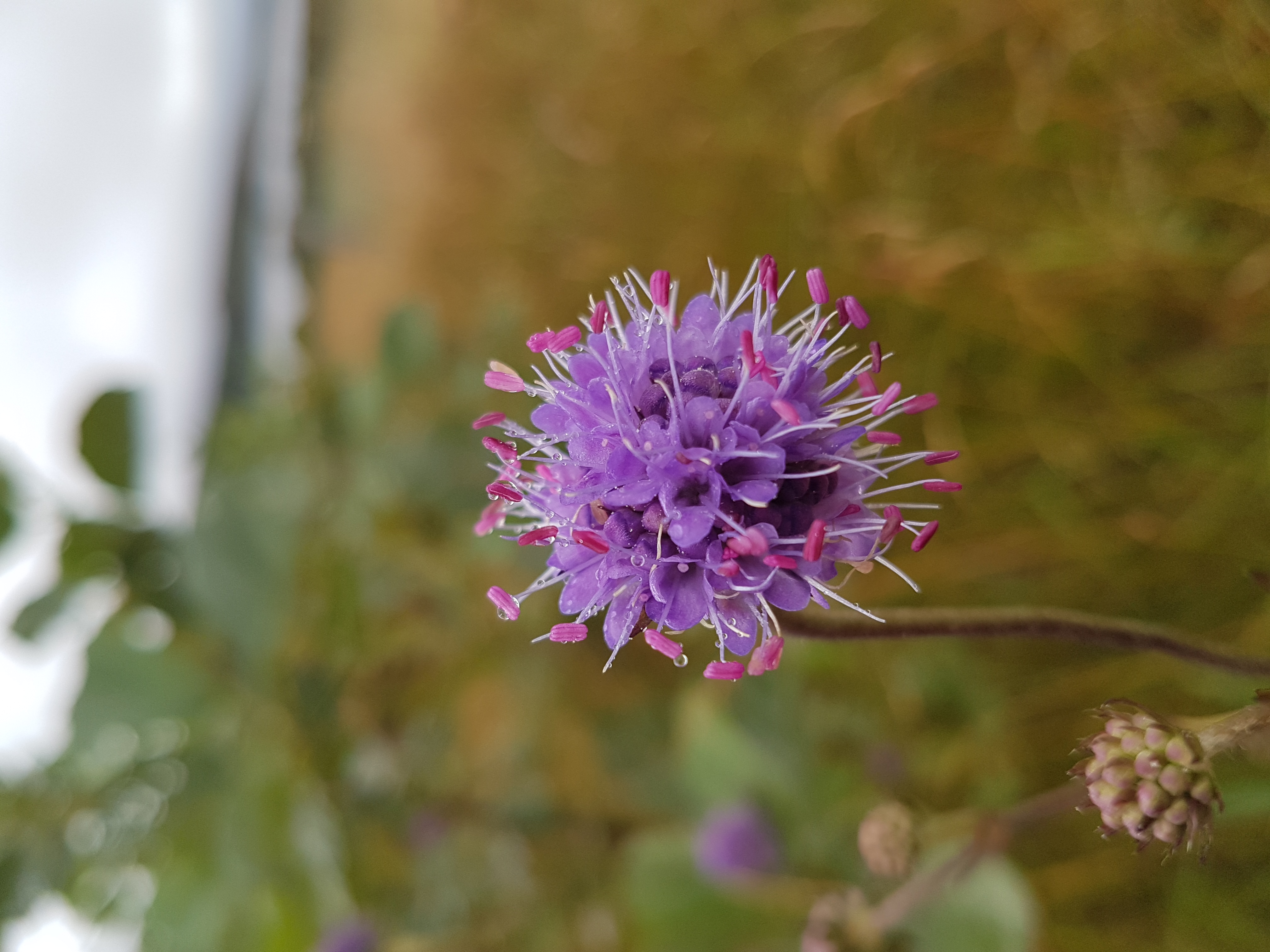 Devils-bit Scabious, Wildflower, Nature