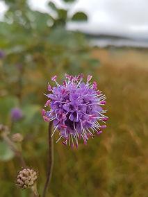 Devils-bit Scabious, Wildflower, Nature