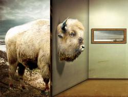 The Great White Buffalo