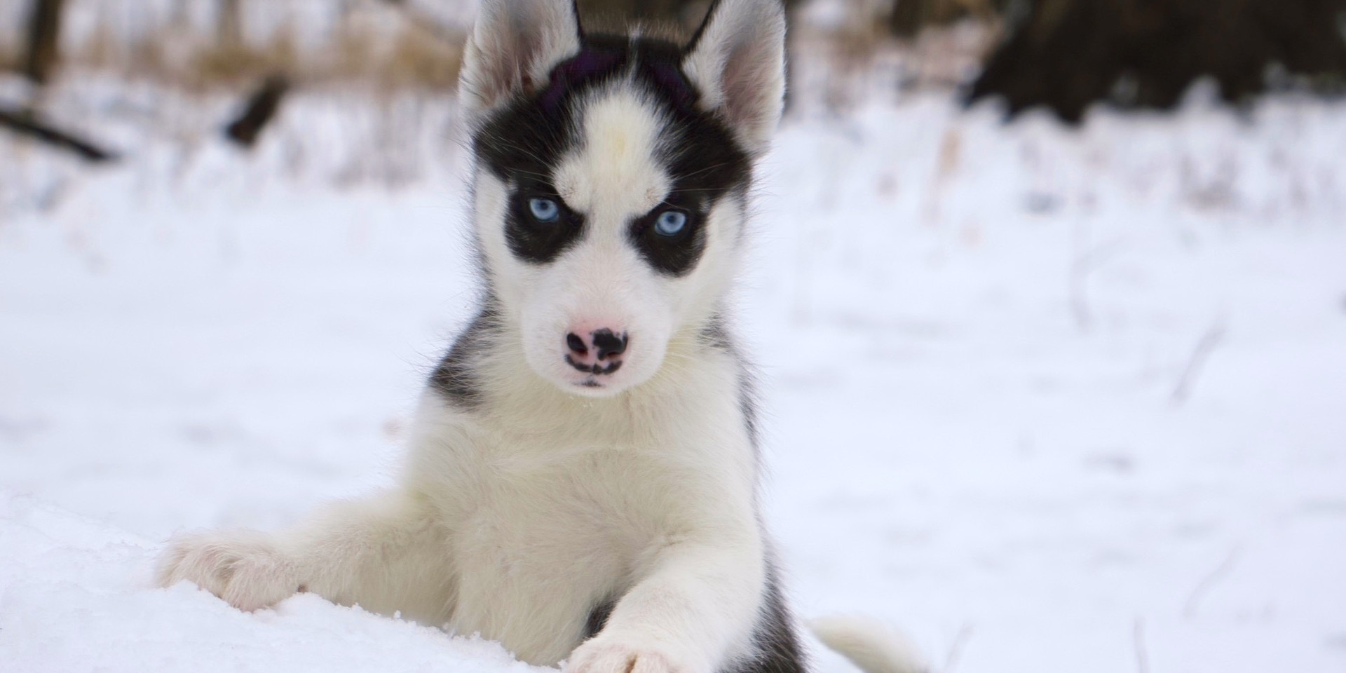 siberianhuskypuppies