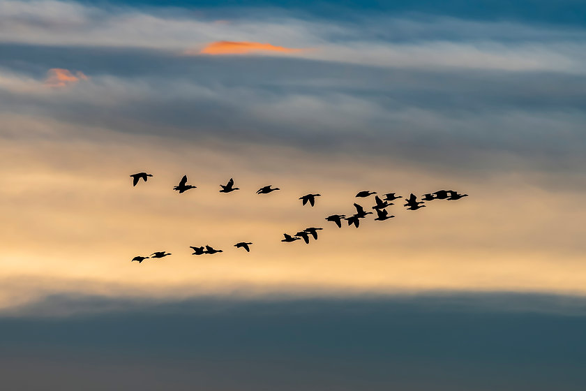 Migrating wild geese formation in fall s