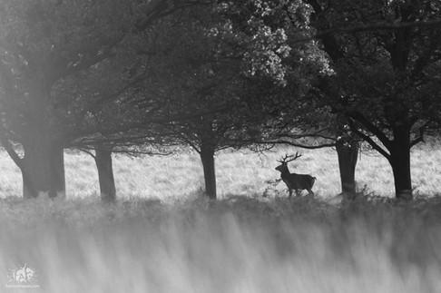 Un cerf à Richmond Park