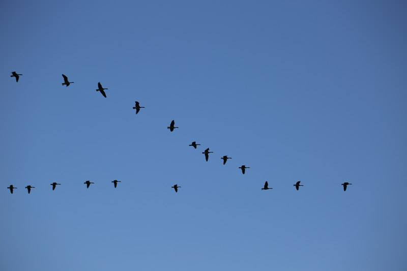 A chevron of Canadian geese
