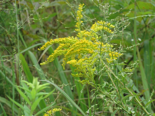 Goldenrod (Solidago)
