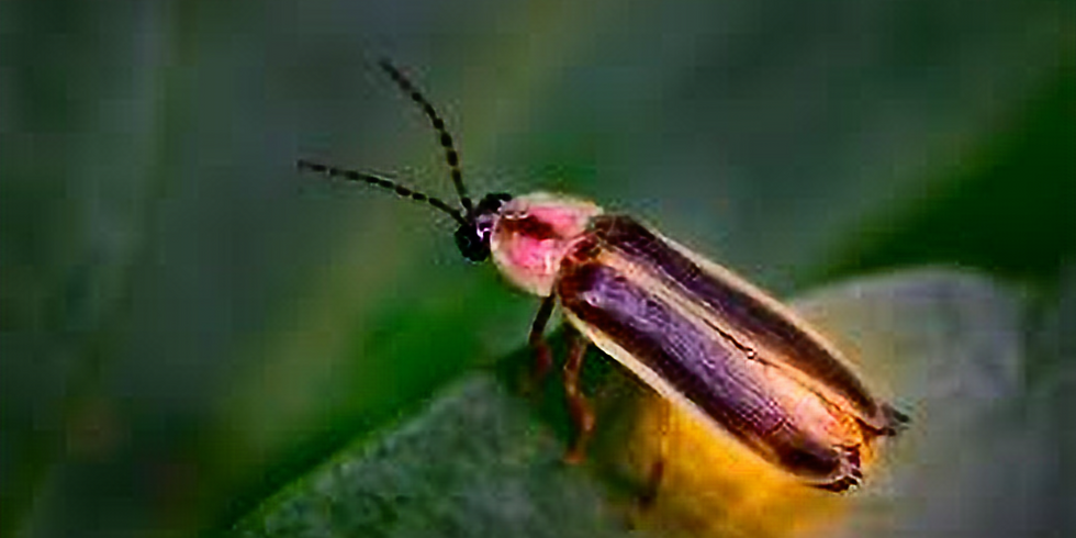 Firefly Natural History