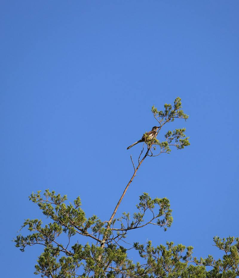 A catbird in the treetop