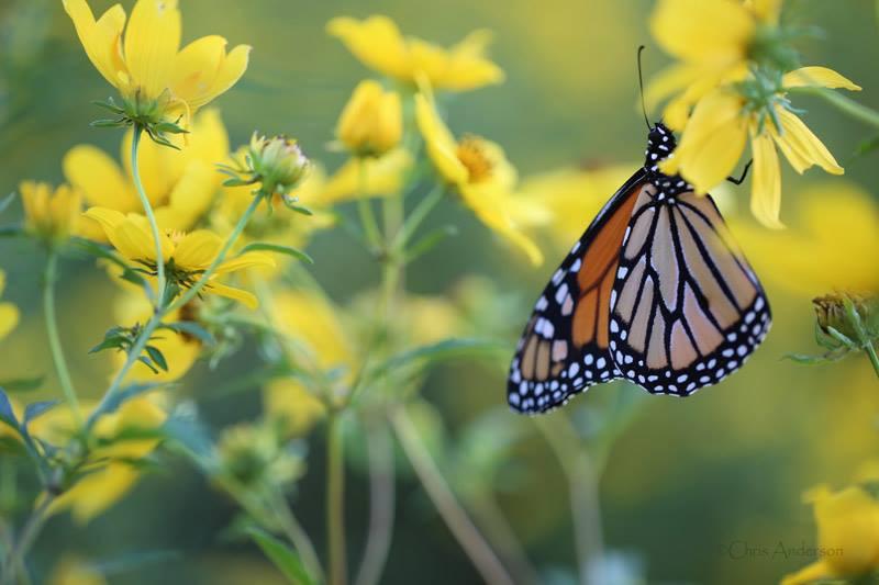 Monarch gathering nectar on tickseed flower