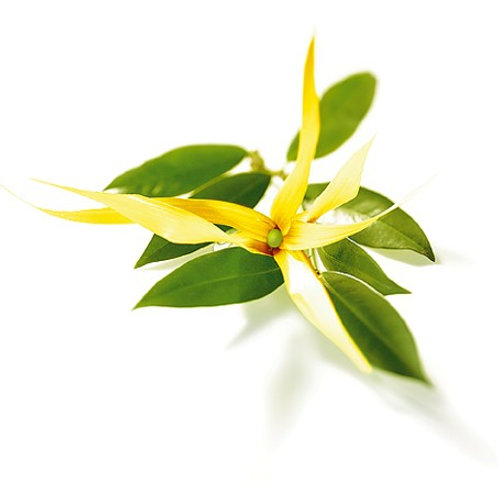 Ylangylang Essential Oil (2nd Distillation)