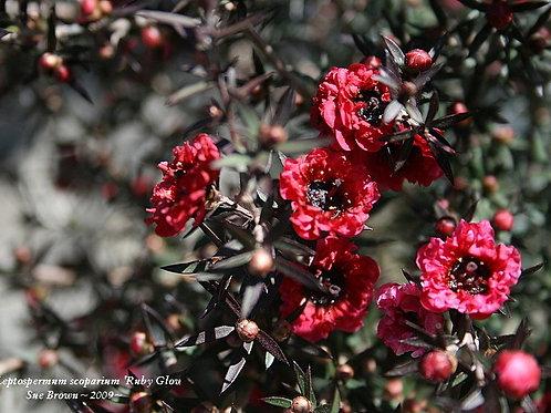 Tea Tree (NZ) Essential Oil