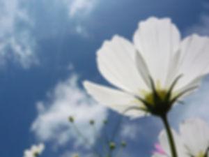 white cosmos sky.jpg