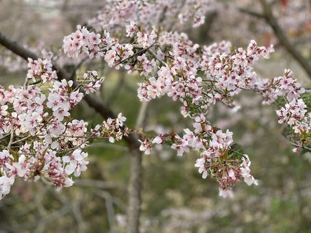 高遠の桜です!桜吹雪でした!