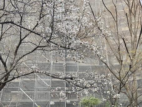 🌸満開花見シーズン到来!?