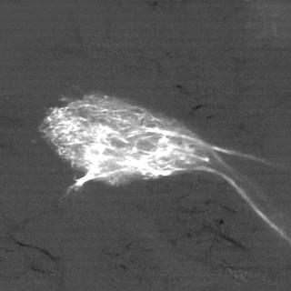 Sister mitral cells