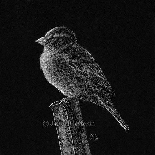 Sparrow Scratchboard Fine Art Print