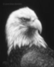 Bald Eagle Scratchboard
