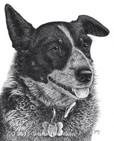 Shelby the Australian Shepherd