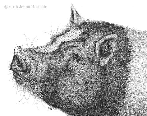 Potbelly Pig Fine Art Print or Notecards