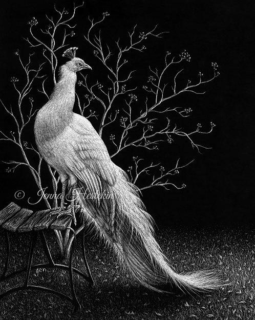 Peacock Scratchboard Fine Art Print