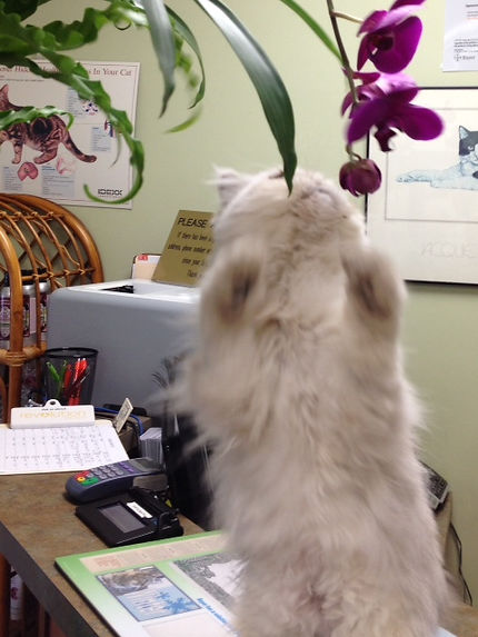 Our clinic cat, Nigel, fascinted by the orchids