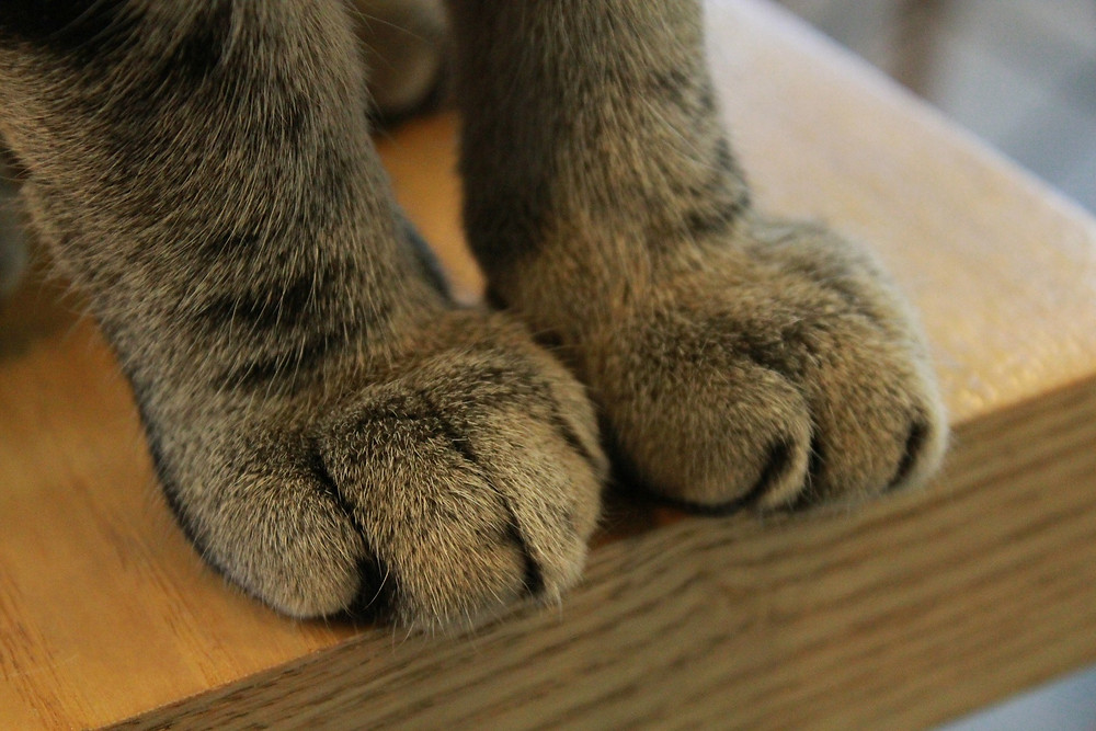 Declawing is actually a surgical procedure consisting of ten amputations