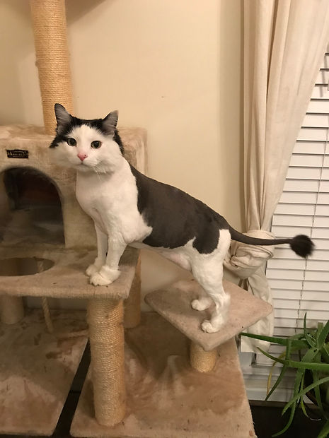 This is a cute example of a Persian cut with a ball tail