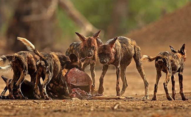 Painted Wolves Feast