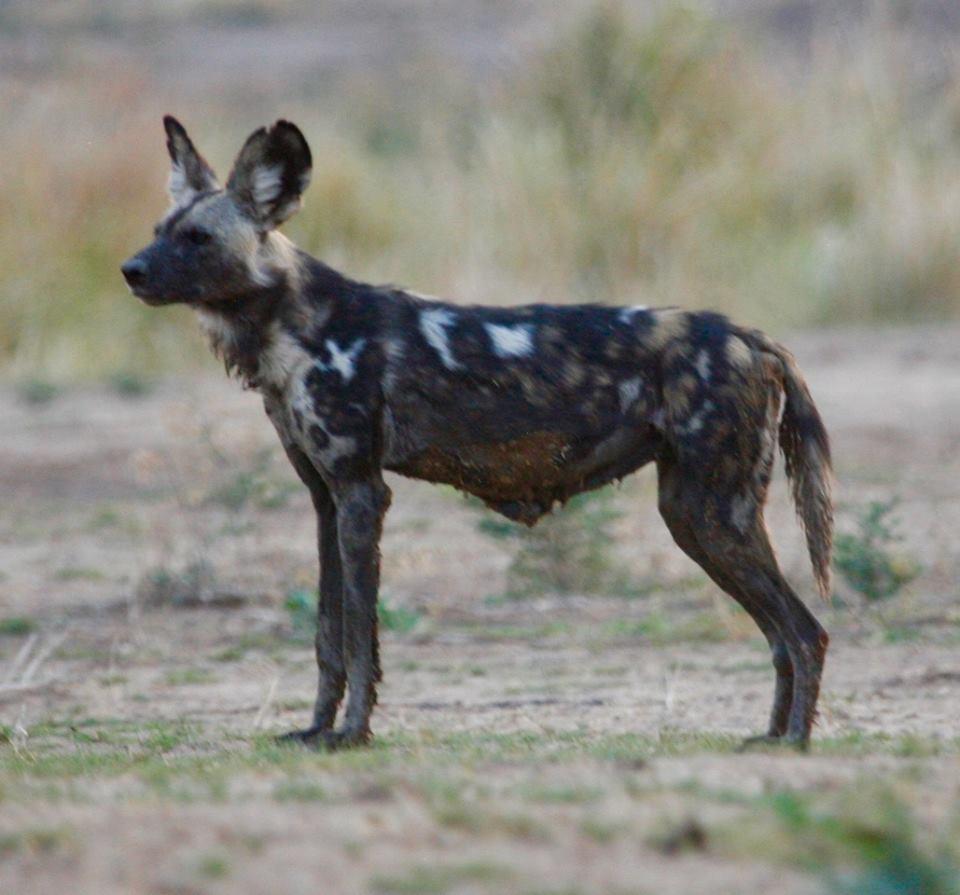 Tait, alpha of Vundu pack