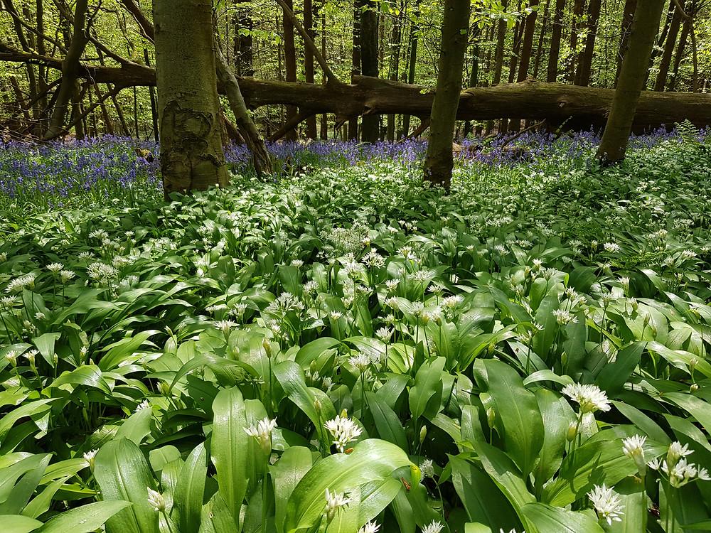 Wild Garlic and bluebells, Groombridge Sussex.