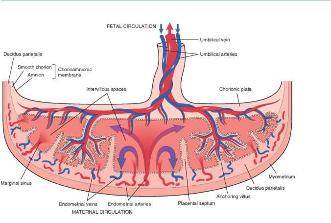 Diagram of placenta. Image from Biology.com