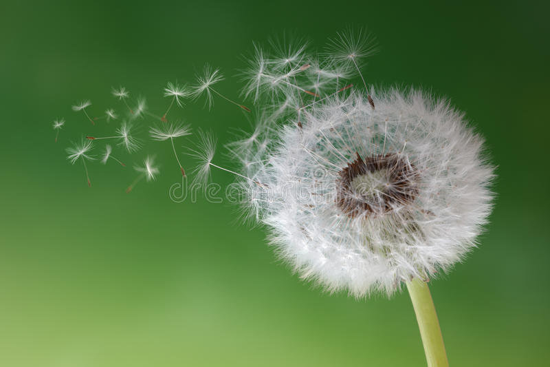 dandelion-clock-morning-mist-seeds-blowi
