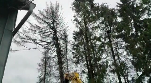 Astkneifer Baumfällen