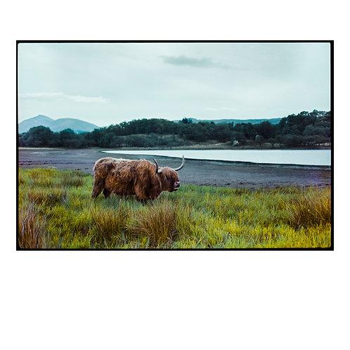 Highland Cow 1 Colour Negative Scan ( A3 Print )