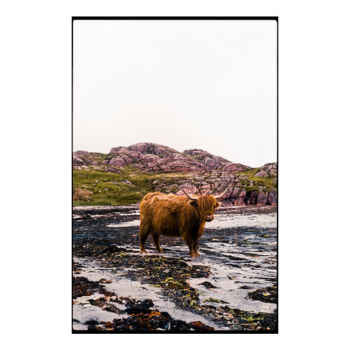 Highland Cow 2 Colour Negative Scan ( A3 Print )