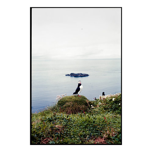 Puffins 1 Colour Negative ( A3 Print )