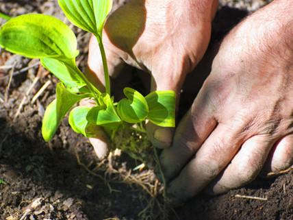 Antidepressant Bacteria in Soil – Boosts Serotonin