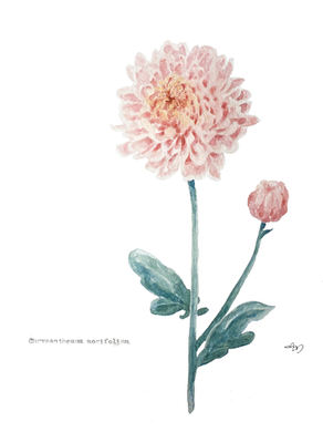 Chrysanthemum's The Word