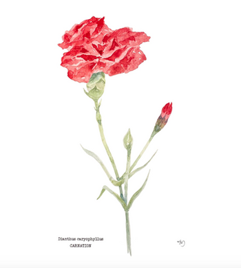 Underrated Carnation