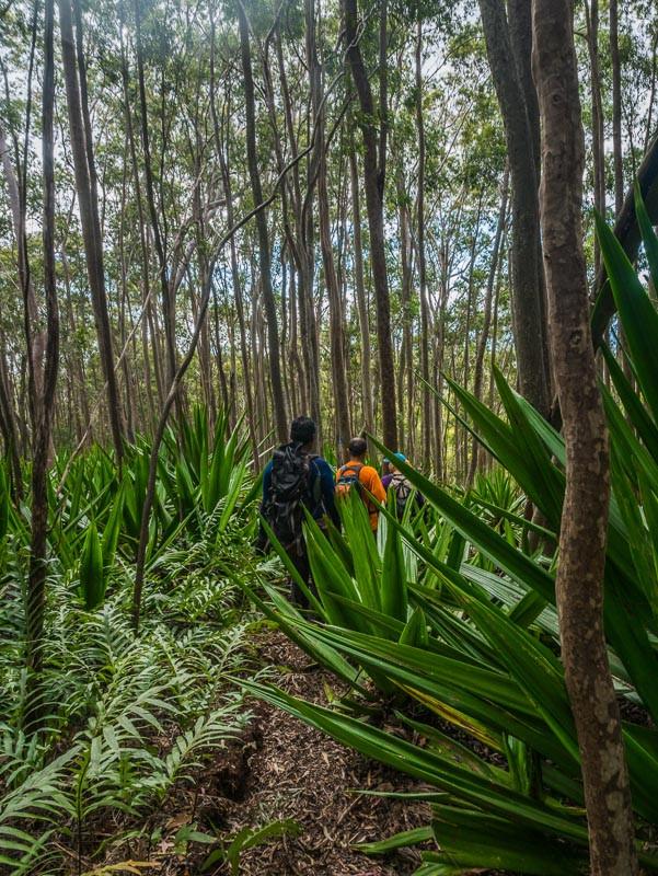 hiking between guava plants